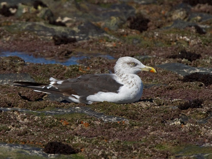 http://www.niall.co.za/ID/gull-lesser-black-backed_0368-700.jpg