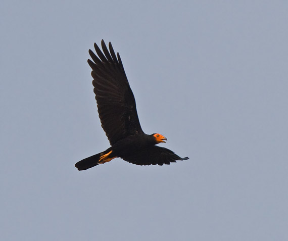 http://www.niall.co.za/Peru/Peru-birdpages/images/caracara-black_0202.jpg