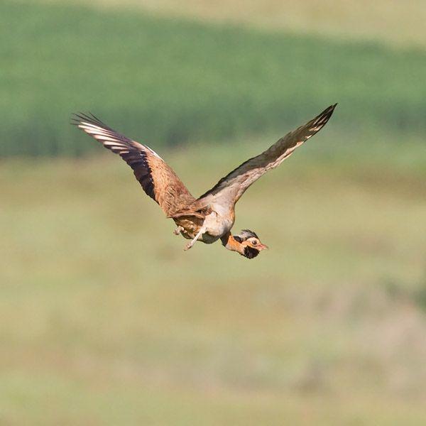 African Grassland Birds Many grassland bird species