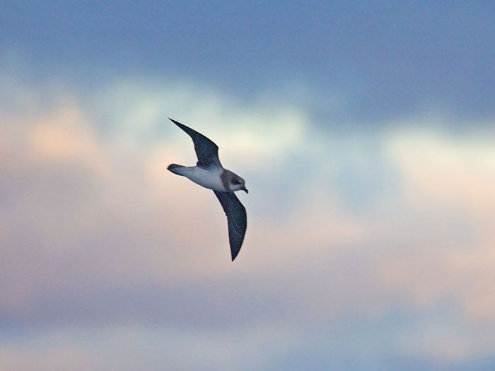 http://www.niall.co.za/Species/bird-pages/images/petrel-soft-plumaged_4617.jpg