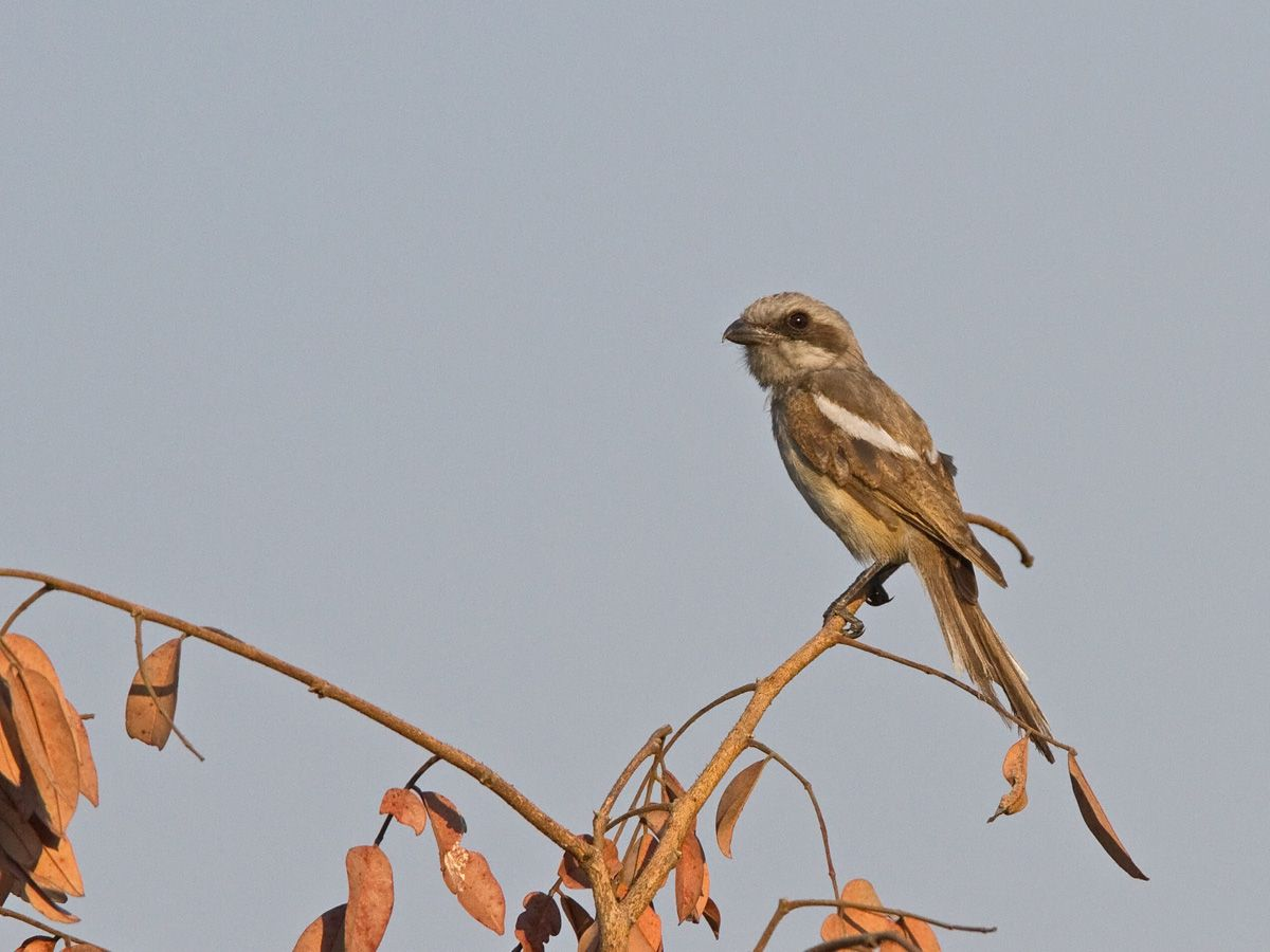 http://www.niall.co.za/Species/bird-pages/images/shrike-souzas_2268.jpg