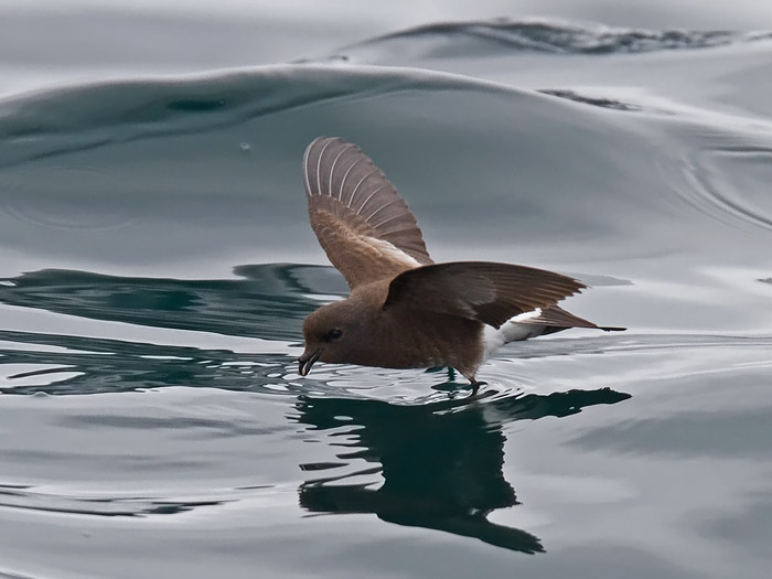 http://www.niall.co.za/Worldbirds/bird-pages/images/storm-petrel-white-vented_4677.jpg